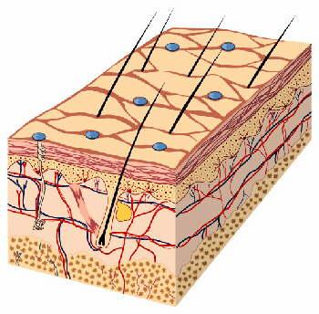 皮膚組織の再生力